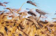 Gesundes Urkorn für Brot und Bier: Emmer - ein fast vergessenes Getreide
